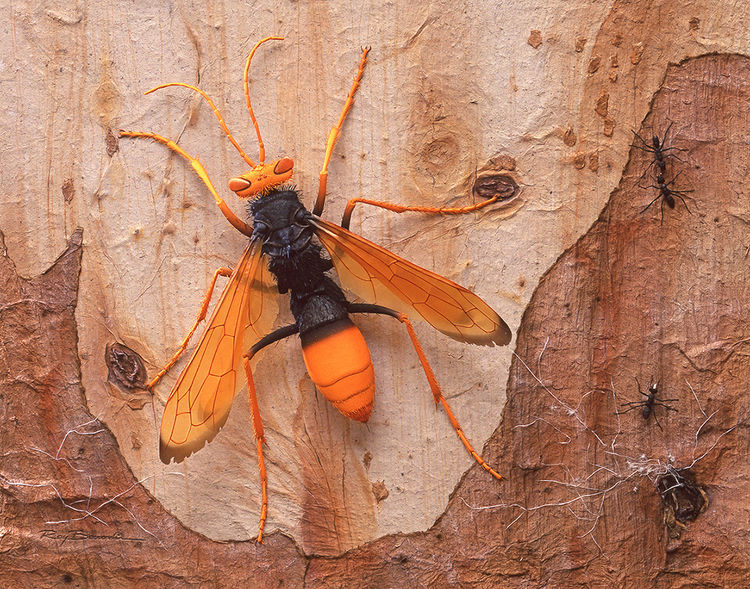 Spider Hunter Wasp (Pompilid) on Eucalypt Bark by Ray Besserdin - search and link Sculpture with SculptSite.com